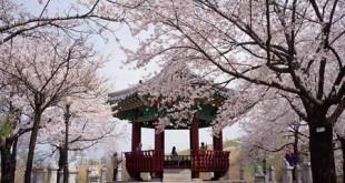 Ngắm hoa Anh đào -Công viên Yeouido - du lịch hàn quốc